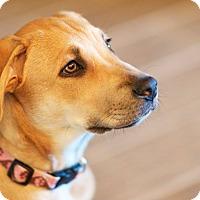 Adopt A Pet :: Ginger - Allen, TX