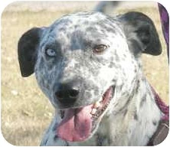 Dalmatian/Australian Cattle Dog Mix Dog for adoption in Turlock, California - Simon