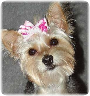 maltese yorkie mix rescue princess adopted puppy palm city fl yorkie 9060