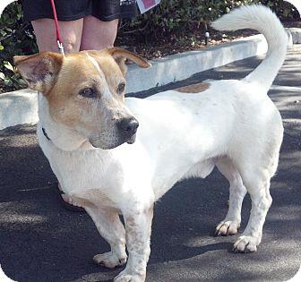 Basset Hound/Shepherd (Unknown Type) Mix Dog for adoption in Vista, California - Jake