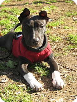 Pit Bull Terrier Mix Puppy for adoption in Staatsburg, New York - Astro