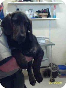Basset Hound/Plott Hound Mix Puppy for adoption in Yuba City, California - 03/14 Unnamed