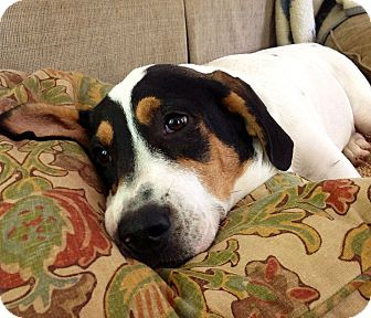 Beagle/Hound (Unknown Type) Mix Dog for adoption in CHAMPAIGN, Illinois - GEORGE