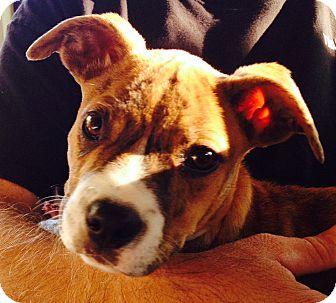 Boxer/Terrier (Unknown Type, Medium) Mix Puppy for adoption in Atlanta, Georgia - Alison