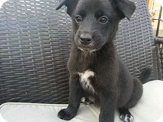 Border Collie Mix Puppy for adoption in Linton, Indiana - Lovebug