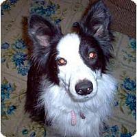 "Border Collie Dog for adoption in Minerva, Ohio - Kayla ""Sponsors Needed"""