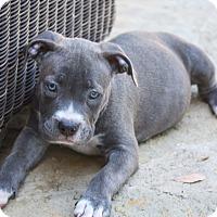Adopt A Pet :: Serenity - Austin, TX
