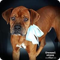 Adopt A Pet :: DENZEL - Conroe, TX