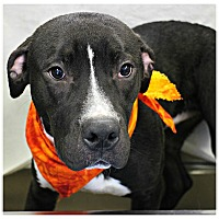 Adopt A Pet :: Sawyer - Forked River, NJ