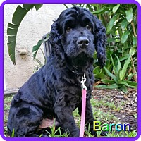 Adopt A Pet :: Baron - Hollywood, FL