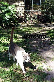 Domestic Shorthair Cat for adoption in Bonita Springs, Florida - Antonio