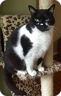 Domestic Shorthair Cat for adoption in Harrison, New York - Jade