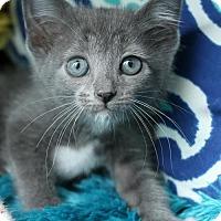 Adopt A Pet :: Boots $85 Female Kitten - knoxville, TN