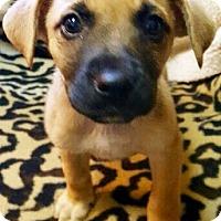 Adopt A Pet :: I'M ADOPTED Boxadors