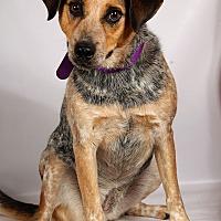 Blue Heeler/Australian Cattle Dog Mix Dog for adoption in St. Louis, Missouri - Queenie Heeler