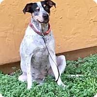 Australian Cattle Dog Mix Dog for adoption in San Antonio, Texas - 377714 Ellie
