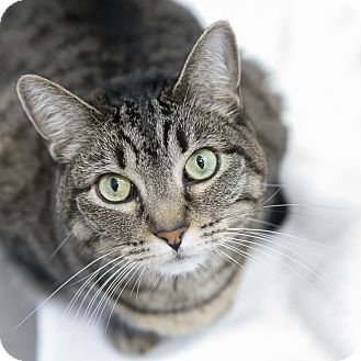Domestic Shorthair Cat for adoption in Houston, Texas - Violet
