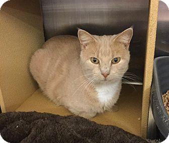 Domestic Shorthair Cat for adoption in Colmar, Pennsylvania - Joey