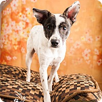 Cattle Dog Mix Dog for adoption in Ottawa, Kansas - Sting