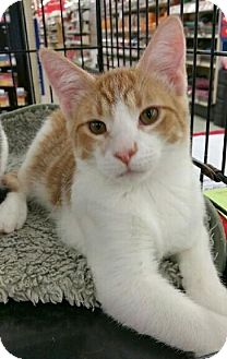 Domestic Shorthair Kitten for adoption in MARENGO, Illinois - Bobby
