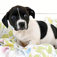 Adopt A Pet :: Ross - Arlington, VA