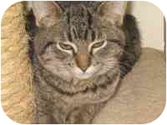 Domestic Shorthair Cat for adoption in Milwaukee, Wisconsin - Spotty Muldoon