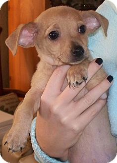 Chihuahua/Miniature Pinscher Mix Puppy for adoption in Vista, California - Brody