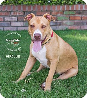 American Pit Bull Terrier Mix Puppy for adoption in Gilbert, Arizona - Hercules