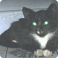 Domestic Shorthair Cat for adoption in Miami, Florida - Tuxie