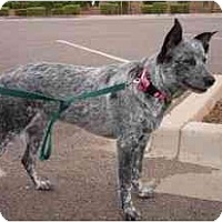 Adopt A Pet :: Holli - Phoenix, AZ