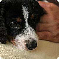 Adopt A Pet :: Bentley - Bowie, MD