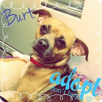 Adopt A Pet :: Burt - Lake Elsinore, CA