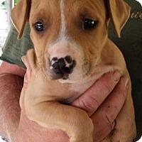 Adopt A Pet :: Rocoto - Gainesville, FL