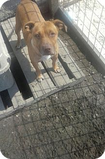 American Pit Bull Terrier/American Staffordshire Terrier Mix Dog for adoption in North, Virginia - Rudy