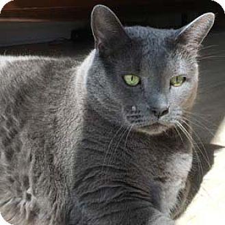 Domestic Shorthair Cat for adoption in Verdun, Quebec - Chopin