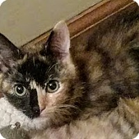 Calico Kitten for adoption in Smyrna, Georgia - Sassy