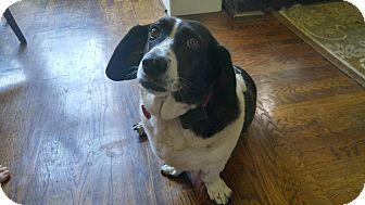 Basset Hound Mix Dog for adoption in Northport, Alabama - Shelby