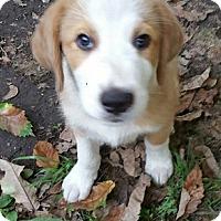 Adopt A Pet :: Shane - Bartonsville, PA