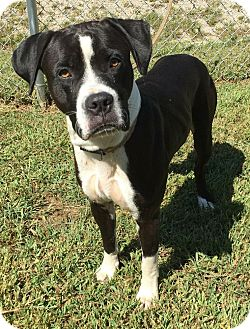 Boxer Mix Dog for adoption in Morehead, Kentucky - Ladan
