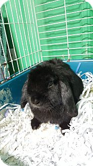 Lop-Eared Mix for adoption in Pottsville, Pennsylvania - Opie