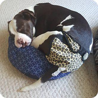 Pit Bull Terrier Mix Dog for adoption in Durham, North Carolina - Annie