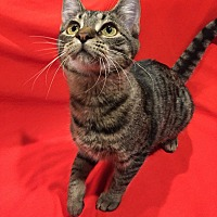 Domestic Shorthair Cat for adoption in St. Charles, Illinois - Lana