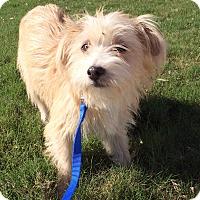 Terrier (Unknown Type, Small) Mix Dog for adoption in Schertz, Texas - Cheddar