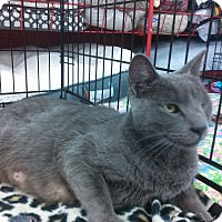 Russian Blue Cat for adoption in Alamo, California - Velvet