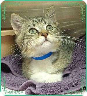 Domestic Shorthair Kitten for adoption in Marietta, Georgia - BOOTS adoptable 12/4