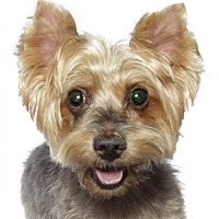 Adopt A Pet :: Gotti - Oakland Park, FL