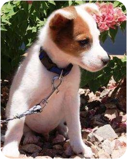 border collie jack russell terrier mix rowdy adopted puppy gilbert az jack russell terrier 1853