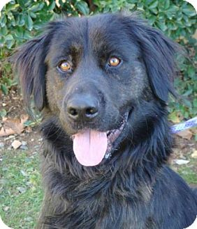 Flat-Coated Retriever Mix Dog for adoption in Red Bluff, California - Chester