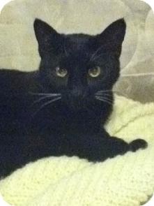 Domestic Shorthair Cat for adoption in Medford, Massachusetts - Kissmas