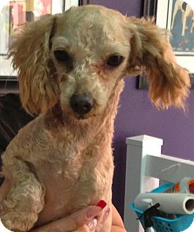Poodle (Miniature) Mix Dog for adoption in Thousand Oaks, California - Fiona